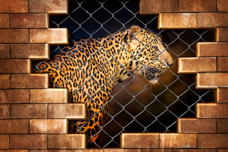 Fototapet Young leopard internal the cage in concept of resist torture and torture the wildlife