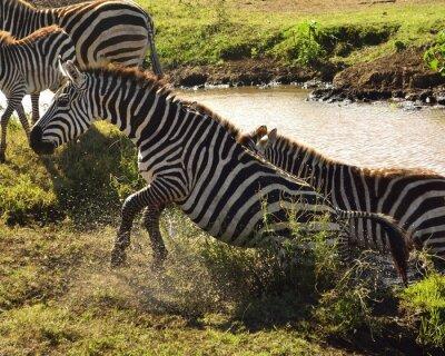 Fototapet Zebra en sair da água