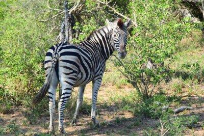 Fototapet Zebra i Afrika Looking Back