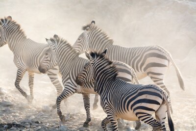 Fototapet Zebror kör, Namibia i Afrika