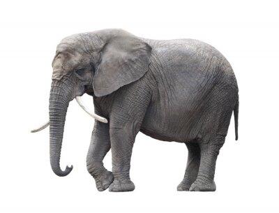 Väggdekor Afrikansk elefant isolerad på vitt med klippning