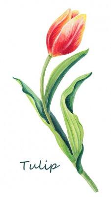 Väggdekor Akvarell blommig illustration av vacker en tulpan på den vita bakgrunden. Gulligt hälsningskort. Springa rött, gult, orange blomma och gröna blad. Gräskort för kvinnors dag.
