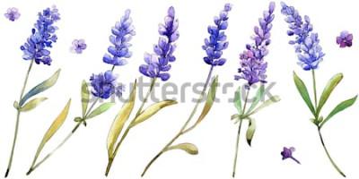 Väggdekor Akvarell lila lavendelblommor. Blommig botanisk blomma. Isolerat illustrationelement. Aquarelle vildblomma för bakgrund, textur, omslagsmönster, ram eller gräns.