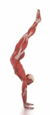Väggdekor Anatomi muskel karta vit isolerade - värma upp pose
