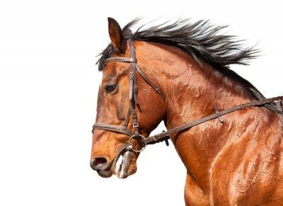 Väggdekor Bay häst i profil på en vit bakgrund. Närbild.