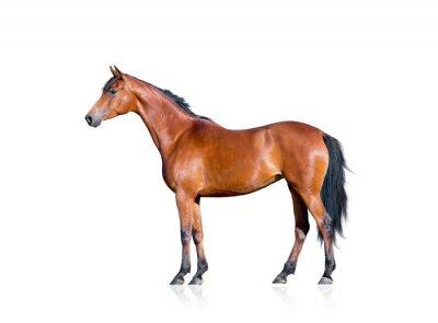 Väggdekor Bay häst isolerad på vit bakgrund