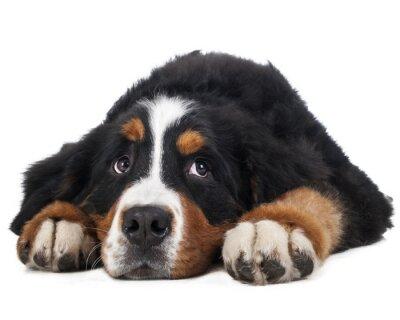 Väggdekor Berner Sennenhund på en vit bakgrund i studion, ledsen hund