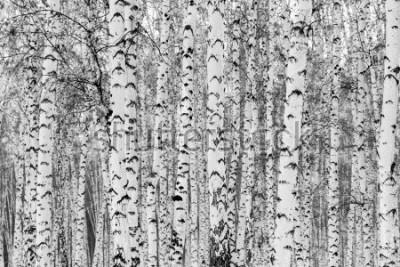 Väggdekor Birch forest winter landscape, black and white photo