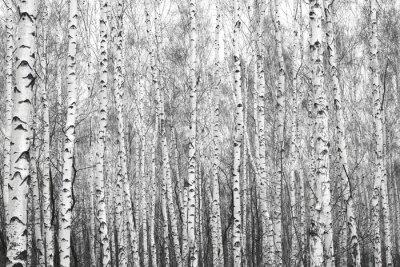 Väggdekor björkskog, svartvitt foto