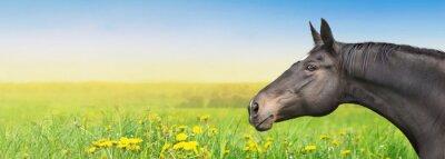 Väggdekor Black Horse på sommar bakgrund med maskros, banderoll
