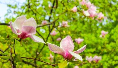 Väggdekor blomma rosa magnolia blomma