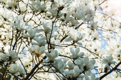 Väggdekor Blommande vita magnolia blommor på våren
