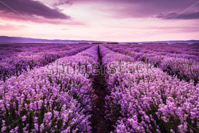 Väggdekor Blooming lavender field under the purple colors of the summer sunset