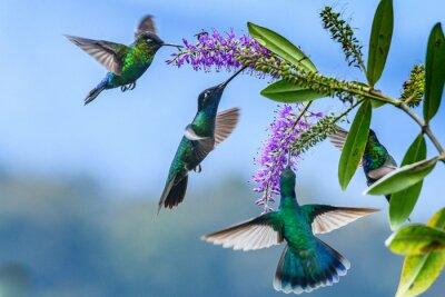 Väggdekor Blue hummingbird Violet Sabrewing flying next to beautiful red flower. Tinny bird fly in jungle. Wildlife in tropic Costa Rica. Two bird sucking nectar from bloom in the forest. Bird behaviour