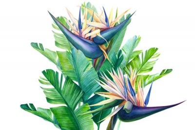 Väggdekor bouquet of tropical strelitzia flowers on a white background, watercolor illustration