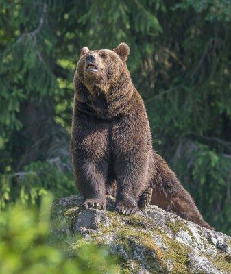 Väggdekor brunbjörn hane