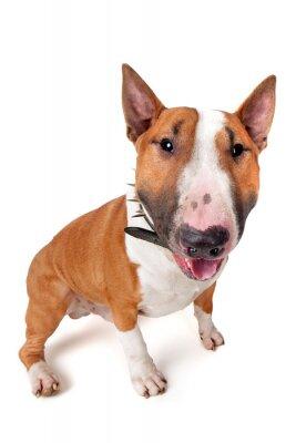 Väggdekor Bull Terrier