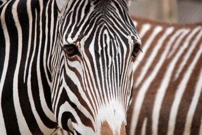 Väggdekor Burchell's zebra is a southern subspecies of the plains zebra. It is named after the British explorer William John Burchell. Common names include bontequagga, Damara zebra and Zululand zebra