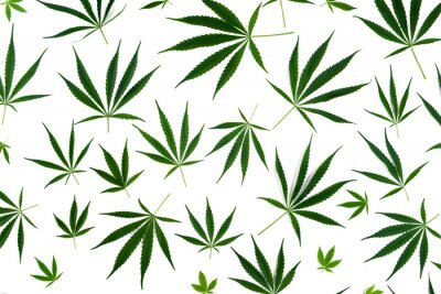 Väggdekor Cannabis leaves of different sizes are isolated on a white background.