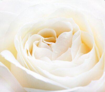 Väggdekor delikat vit ros närbild bild