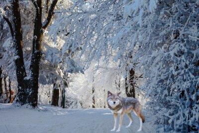Väggdekor Den magnifika vita polära varg kom för jakt