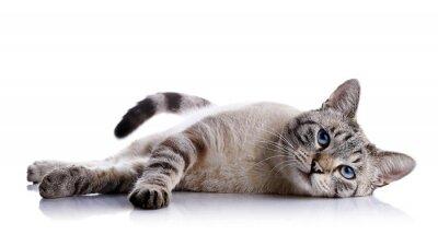 Väggdekor Den randiga blåögd katt ligger på en vit bakgrund.