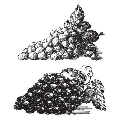 Väggdekor druvor på en vit bakgrund. skiss