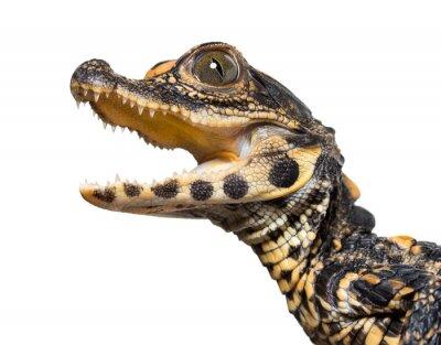 Väggdekor Dwarf crocodile against white background