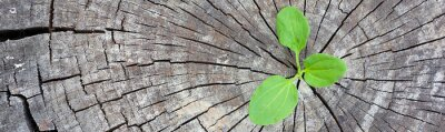 Väggdekor Ekologi koncept. Rising sproutplantain av gammalt trä och symboliserar kampen för ett nytt liv, border design panorama banner.