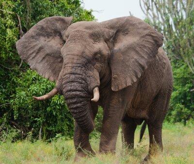 Väggdekor Elefant i savannen. Skott från luftballong. Afrika. Kenya. Tanzania. Serengeti. Maasai Mara. En utmärkt illustration.