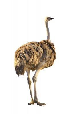 Väggdekor EMU