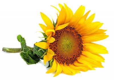 Väggdekor en solros på en vit bakgrund