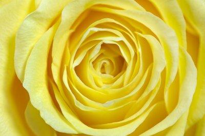 Väggdekor Enda gul ros, full frame