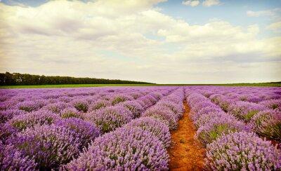 Väggdekor Fält av lavendel