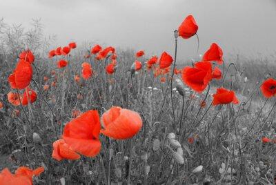Väggdekor Fält av röda vallmor på sommaren