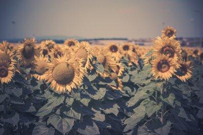 Väggdekor Fält med solrosor view
