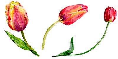 Väggdekor Fantastisk röd tulpanblomma med det gröna bladet. Isolerad handritad botanisk blomma. Akvarell bakgrund illustration uppsättning.