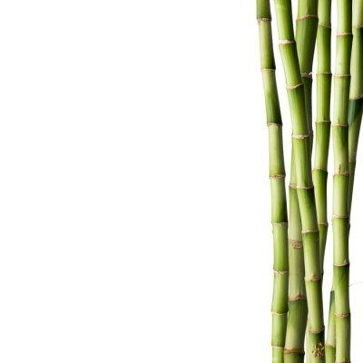 Väggdekor Färsk bambu med bambuskog i bakgrunden