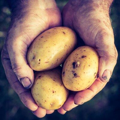 Väggdekor Färsk potatis i händerna