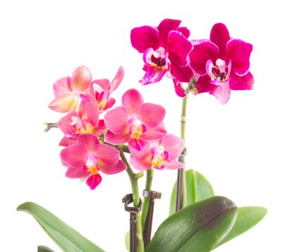 Väggdekor Färsk rosa orkidé i kruka
