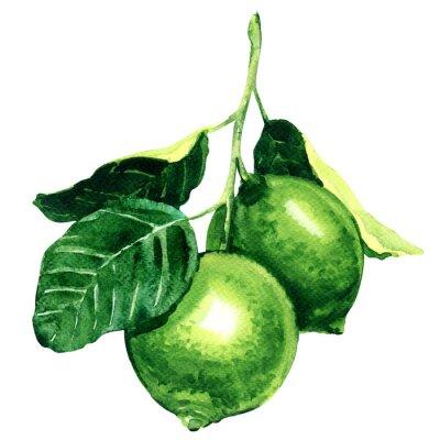Väggdekor Färska limefrukter på gren isolerade, akvarellillustration