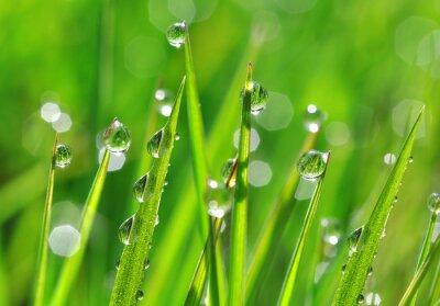 Väggdekor Färskt grönt gräs med daggdroppar närbild. natur bakgrund