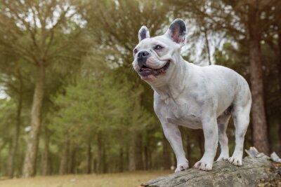 Väggdekor Fransk bulldogg i skogen