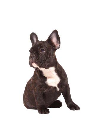 Väggdekor Fransk bulldogg valp (3 månader gamla) - Stock Image