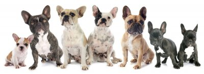 Väggdekor franska bulldoggar