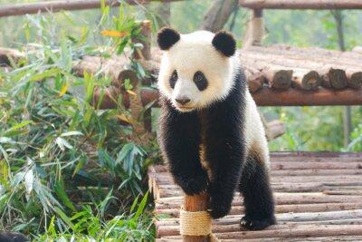 Väggdekor Giant Panda nyfiket stående, Chengdu, Szechuan, Kina