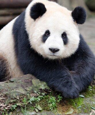 Väggdekor Giant Panda poserar för kameran, Chengdu, Szechuan, Kina