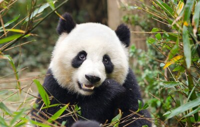 Väggdekor Giant Panda som äter bambu, Chengdu, Kina