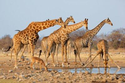 Väggdekor Giraff flock (Giraffacamelopardalis) vid ett vattenhål, Etosha National Park, Namibia.