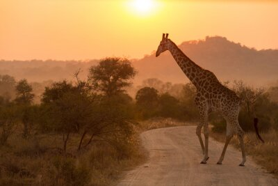 Väggdekor Giraff på Sunrise Kruger National Park